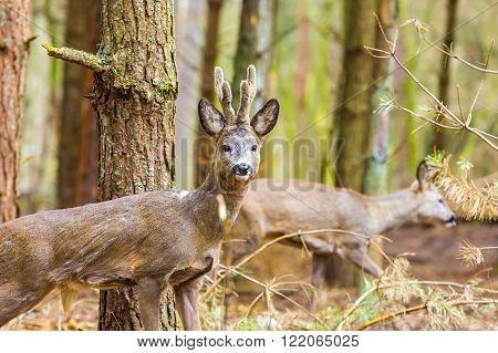 Roe Deer Portrait