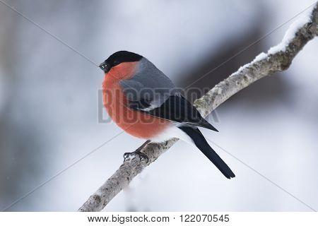 a beautiful male bullfinch sitting on a tree branch