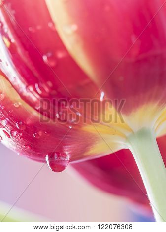 The tulip is a perennial bulbous plant with showy flowers in the genus Tulipa