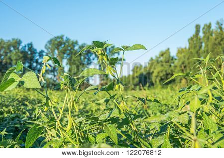 Harvest ready soy bean cultivated agricultural field organic farming soya plantation