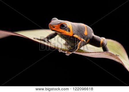 poison dart frog Ranitomeya imitator, a tropical poisonous animal from the Amazon rain forest in Peru and Ecuador