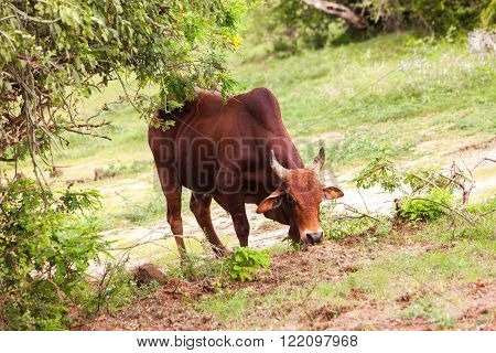 Bull in meadow at Yala park Sri Lanka
