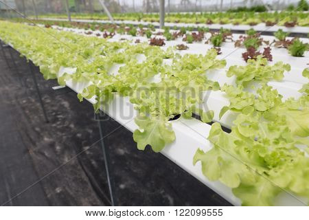 Hydroponic Lettuce Vegetable Growing In Agriculture Farm