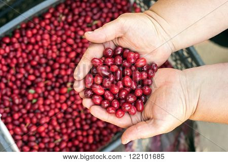 Dogwood red berries in a wooden bowl on the table. Organic dogwood in basket. Woman holding red dogwood