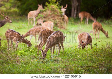Herd of deer at Yala national park Sri Lanka