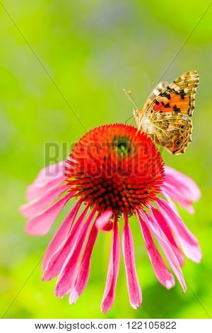 Summer garden - Colorful butterfly on flower purple coneflower (Echinacea)