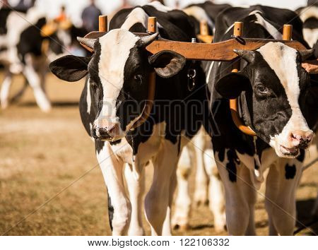 Team of holstein calves with yokes at a state fair