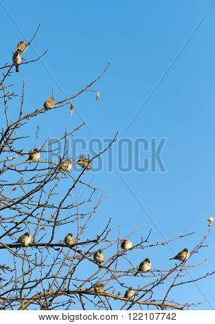 Sparrows perched on a tree branches. Bright blue sky at springtime