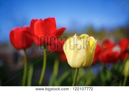 Tulips in the garden in spring. Colorful tulips. Bright yellow tulip on a blurred background of red tulips. Shallow depth of field. Selective focus.