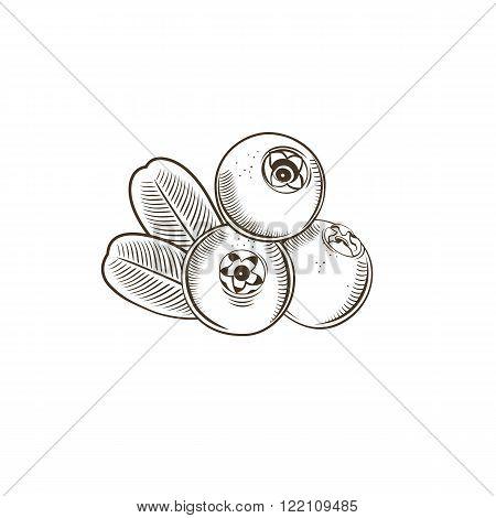 Cowberry in vintage style. Line art vector illustration