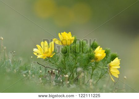 homeopatic remedy plant (adonis vernalis) outdoor