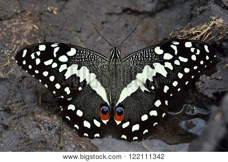citrus swallowtail or Christmas butterfly (papilio demodocus)