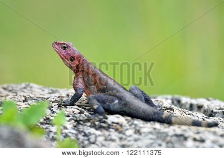 The Namib rock agama (Agama planiceps) in african natural park