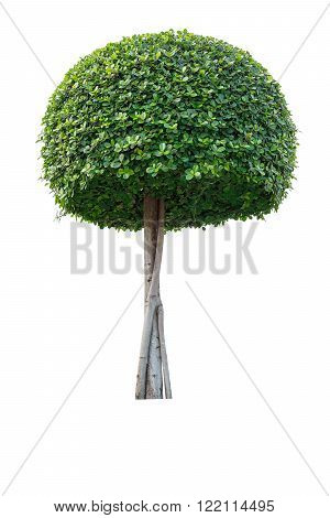 Green bonsai tree isolated on white background.