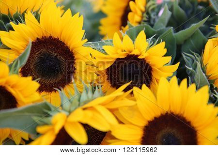 Bunch of Sunflowers on Farmers Market in Germany