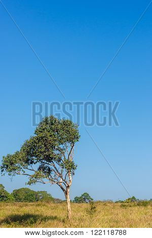 A lone tall tree in the savannah with a blue cloudless sky in the background.