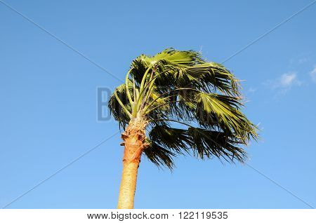 Palm Tree Blowing In The Wind Tenerife Canary Islands Spain