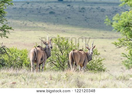 Two common eland Taurotragus oryx oryx in the Mountain Zebra National Park near Cradock in South Africa