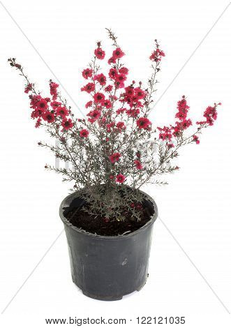 myrtle in pot in front of white background
