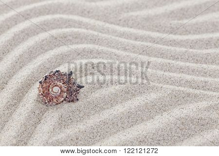 Conch shell on sandy waves nature background.