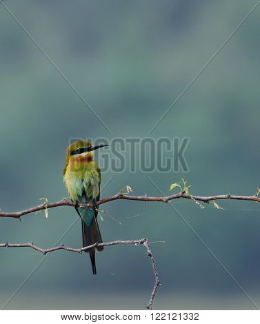 The blue-tailed bee-eater is a near passerine bird in the bee-eater family Meropidae. It breeds in southeastern Asia. It is strongly migratory, seen seasonally in much of peninsular India. ** Note: Visible grain at 100%, best at smaller sizes