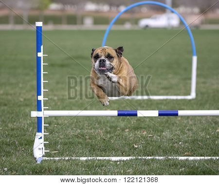 Front view of bulldog during an agility event going over a jump