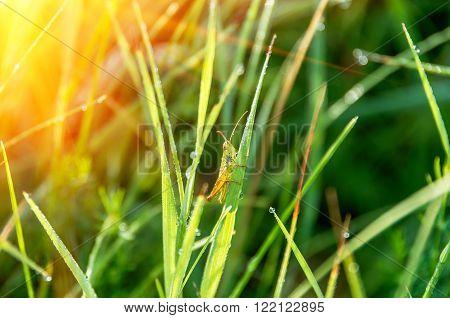 Grasshopper in the grass in a meadow in summer