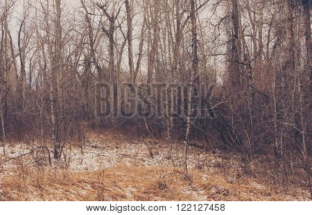 Winter abstract and vintage landscape of cottonwood trees.