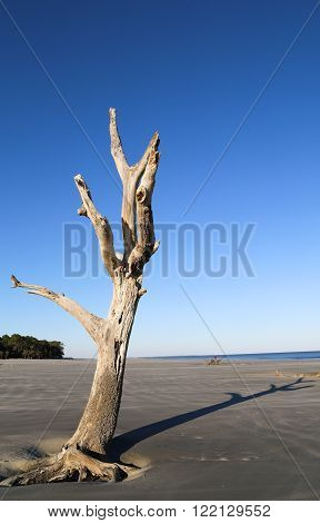 A tall driftwood tree on the beach on a sunny day in South Carolina