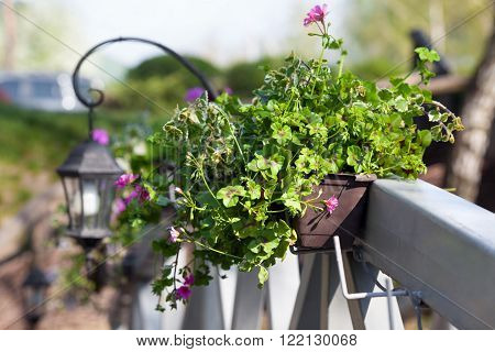 Red Pelargonium flowers in flowerpots on wood bridge