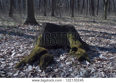 old tree stump covered with green moss