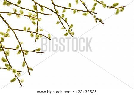 Spring twig with catkins on a white background.