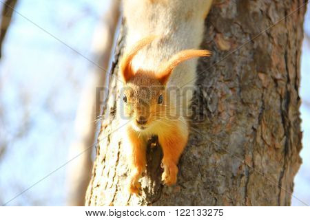 red squirrel in the ears hangs on the tree upside down, looking right into the camera