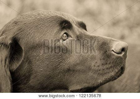 Closeup of a dreaming dog in sepia (vintage style)