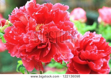 Red Peony flowers,beautiful red peony flowers in full bloom in the garden in spring,closeup