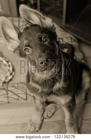 Funny German shepherd puppy with long ears (in sepia retro style with focus on the eyes)