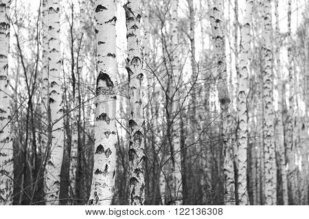 beautiful birch forest, black and white photo