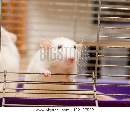 Curious white rat in a cage (shallow DOF selective focus on the rat's paw and eyes)