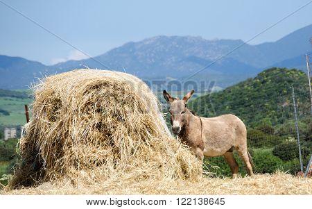 Gray Italian Sardinian Donkey in the farm