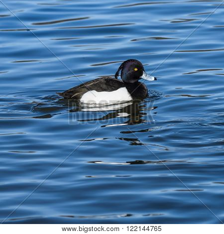 Duck on the river .Male of Tufted Duck  (Aythya fuligula)