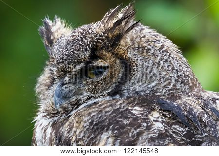 Great Horned Ow close up shot BC Canada