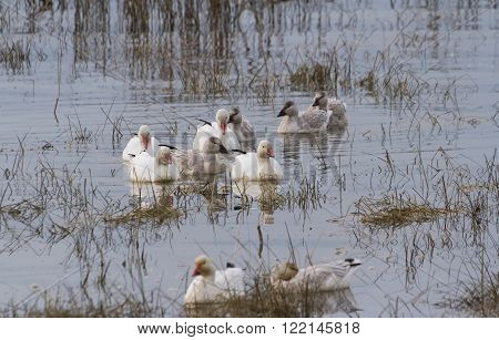 Snow Goose migratory bird in BC Canada