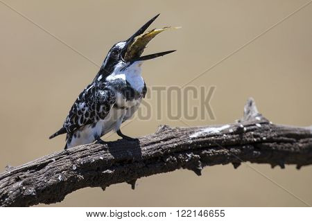 Pied Kingfisher kills fish on a branch to eat