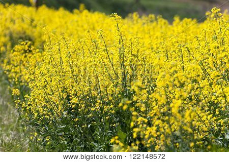 Yellow Canola Flower at west washington state