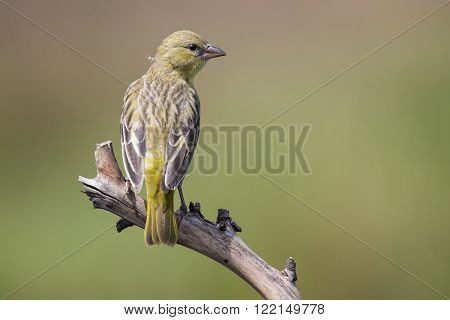 Female weaver sit on a perch and waiting for male