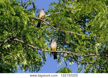 two Western Kingbird in west washington state