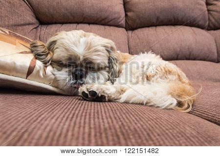 young shih tzu is sleeping on sofa