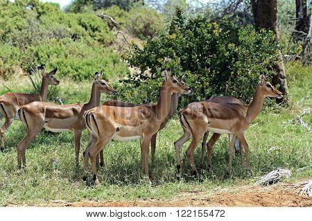 Impala Gazelle In The Savannah