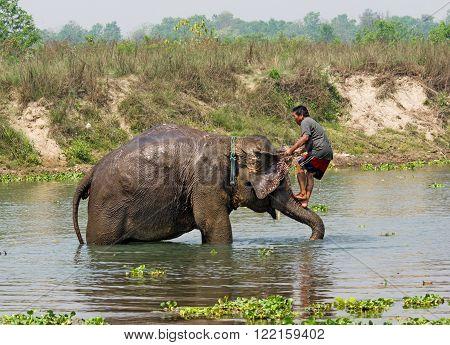 CHITWAN NEPAL - APR 2: Elephant swimming in river on Apr 2 2014 in Chitwan National park Nepal