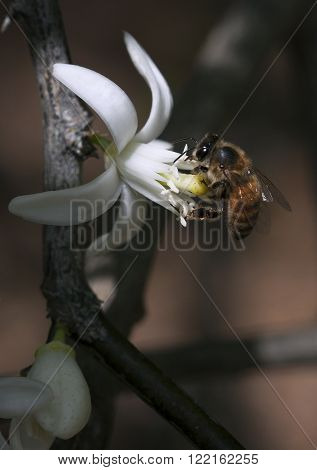 Honeybee working diligently gathering pollen from a lime blossom in Florida during Spring
